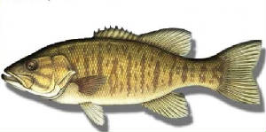 smallmouth.jpg